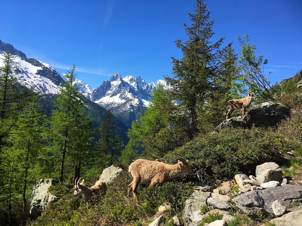 Steinböcke bei Chamonix